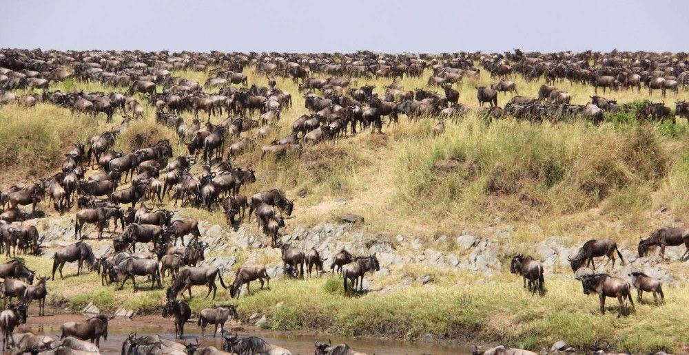 The great wildebeest migration-Hemingways Ol Seki Mara