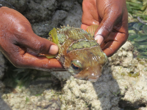 Puffer fish in the rock pools at low tide-Watamu