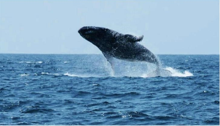 Best time to visit Kenya-Humpback Whales migration in Watamu