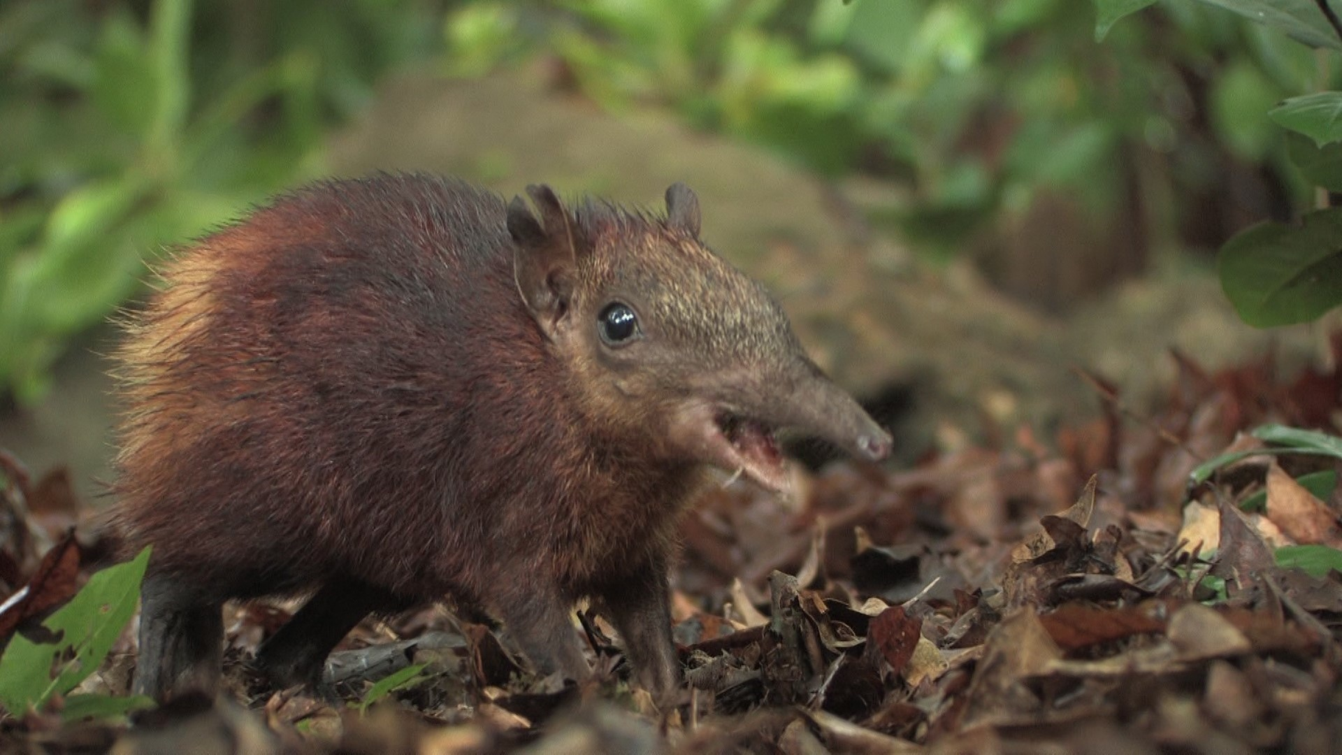 Sighting the Rare Elephant Shrew at Arabuko Sokoke Forest-Hemingways Watamu