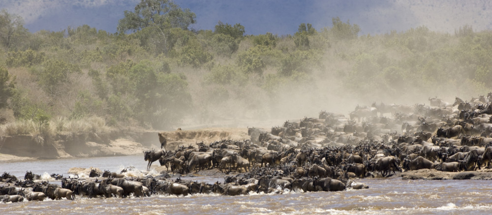 Wildebeest migration in Mara-Hemingways Ol Seki