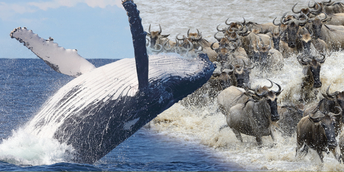 Twin Migration| Wildebeest Migration & Humpback Whale Migration